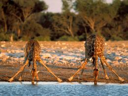 Giraffe Drink Water Wallpaper 1530