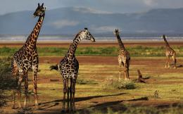HD animal wallpaper with a group of giraffes | HD giraffes wallpapers 213