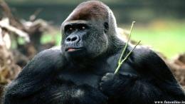 Gorilla HD Wallpaper 1504