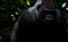 Gorilla HD Desktop Wallpaper | Gorilla Images | Cool Wallpapers 627