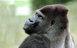 Gorilla wallpaper 1280x800 1760