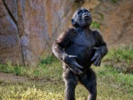 Gorilla Pictures HD Wallpaper 9 663