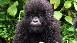Gorilla HD Desktop Wallpaper | Gorilla Images | Cool Wallpapers 1302