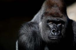 horrible gorilla hd wallpapers 1572