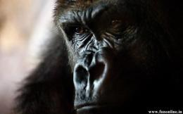 Gorilla in relaxing mood Wallpaper 265