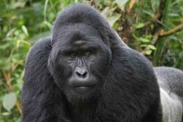 Gorilla Pictures HD Wallpaper 17Hd Wallpapers 785