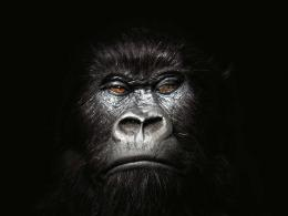 Gorilla Wallpaper 1561