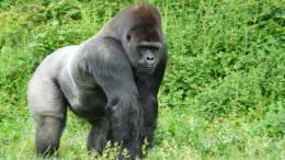 gorilla hd wallpapers 738