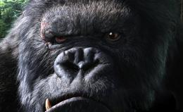 Gorilla Pictures HD Wallpaper 11 998