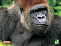 Gorilla Wallpaper 415