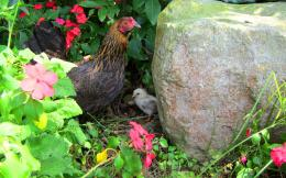 mother hen with chick wallpaper tags flower rock garden mother hen 1454