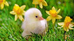 Download Cute Chicken Baby wallpaper 275