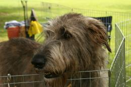 Irish Wolfhound Wallpapers, Pictures & Breed Information 199