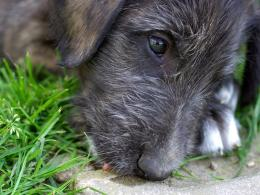Irish Wolfhound Wallpapers For Desktop | Animal Planet HD 764