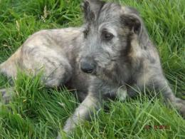 Irish Wolfhound Puppy Pictures 1800