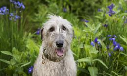 Irish Wolfhound and lilly flowers wallpaper 961