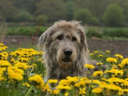 Irish wolfhound from flower field wallpaper 1906