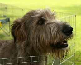 Irish Wolfhound Wallpapers, Pictures & Breed Information 378