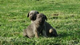 Lobero Irlandes Cachorros & Irish Wolfhound Puppies 186
