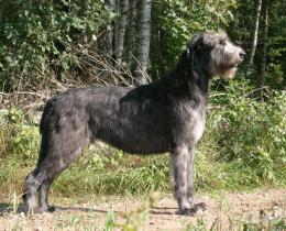 dog irish wolfhound dog black irish wolfhound dog irish wolfhound dog 559