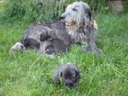 Irish Wolfhound Puppy Blog 1022