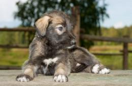 Irish Wolfhound Puppy Pictures 404