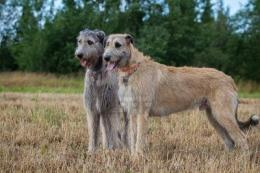 Irish Wolfhound dogs wallpaper 494