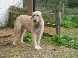 Beautiful Irish Wolfhound dog wallpaper 366