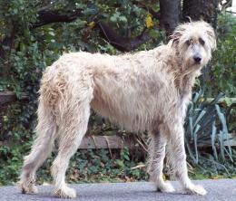 irish wolfhound dog running irish wolfhound dog irish wolfhound dog 932