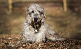 Wallpaper of Irish wolfhound which is lying on the ground 284