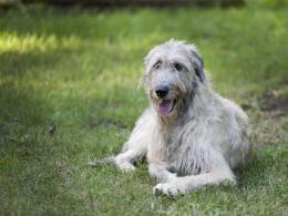 Posts related to Adorable Tongue Out Irish Wolfhound On Grass 1776