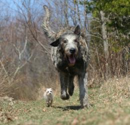 irish wolfhound dog irish wolfhound dog black irish wolfhound dog 1067
