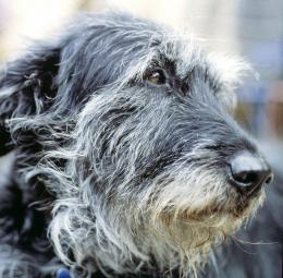 Wolfhound dog face photo and wallpaperBeautiful Irish Wolfhound dog 1066