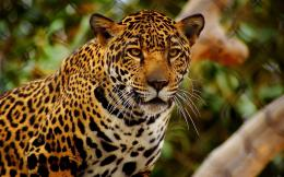 Jaguar Animal HD Wallpapers 154
