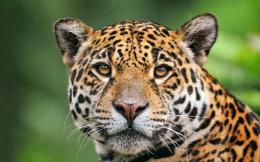 Jaguar Animal HD Wallpapers 662