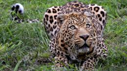 Jaguar Animal HD Wallpapers 1187