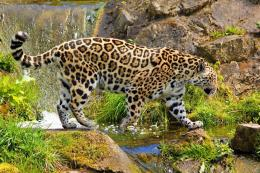 Jaguar Animal HD Wallpapers 522