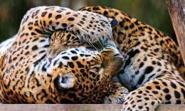 jaguar animal wallpapers hd free download 1591