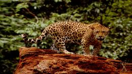 Animal Wallpapers, Backgrounds, great jaguar HD Wallpapers jpg 1920 x 1369