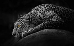 Jaguar Animal HD Wallpapers 1404