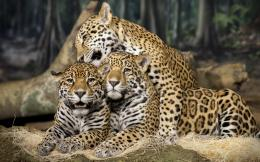 Jaguar Animal HD Wallpapers 1422