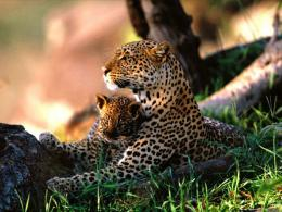 Cute Baby Jaguar Animal HD Wallpapers HD Wallpaper 228