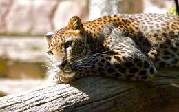 View And Download Jaguar Animal HD Wallpapers 729