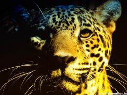 Resting Jaguar Wallpaper 1266