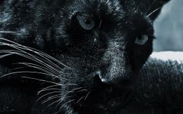 Black Jaguar Animal Wallpaper HD 1114