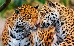 Snuggling Jaguars big cat Wild Animal 1920 X 1200 HD Wallpaper 1350