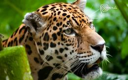 Jaguar The Big Cat 1494
