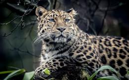 Large Wild Jaguar HD Wallpaper 1939
