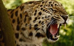 Jaguar Animal HD Wallpapers 252