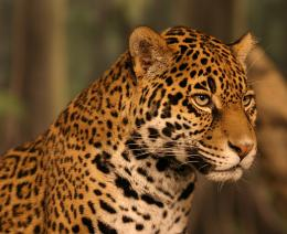 File Name : jaguar animal hd wallpapers 897